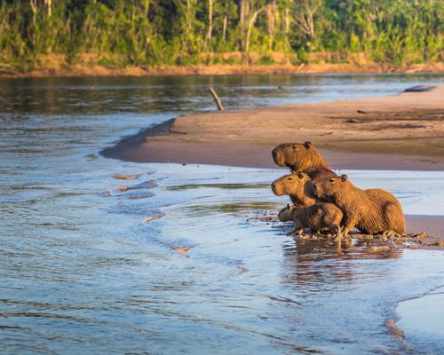Amazon-animals