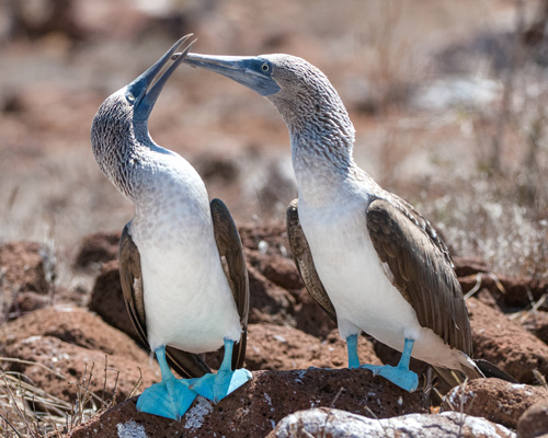 Blue-Footed-boobies