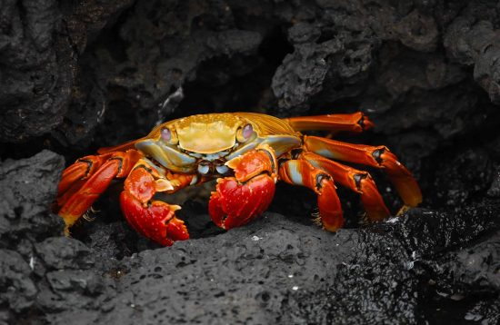 Grapsus Galapagos Islands