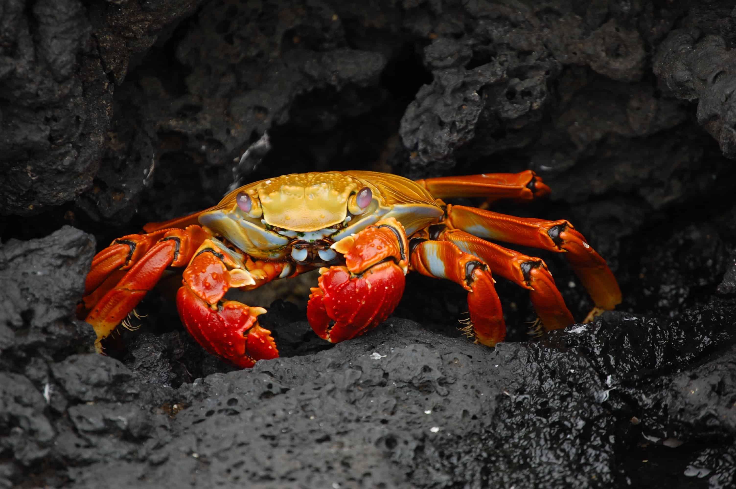 Grapsus Galapagos Islands