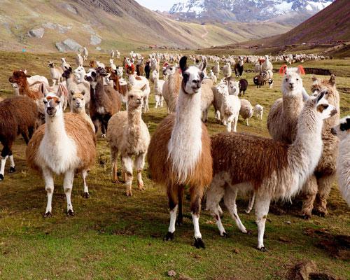 Llamas-and-Alpacas